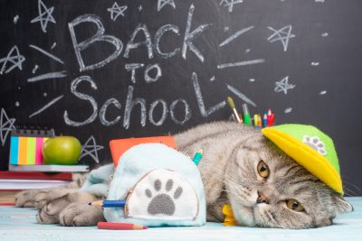 cat schoolboy in a cap and with a backpack, lies on the background of the school board. Back to school